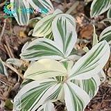 GEOPONICS GRAINES -100 / Pcs Sac rares Costus Seedss Graines Jardin Mini Pot...