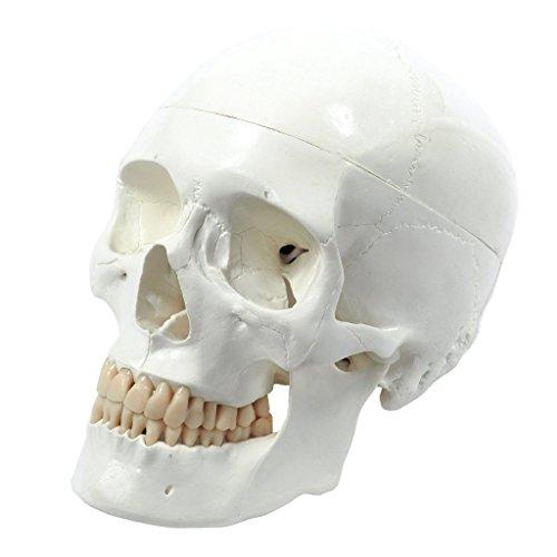 s242400-craneo-humano-modelo-anatomico-educativo-de-3-piezas