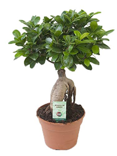 Ficus Bonsai-Optik