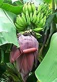 Japanische Faserbanane - Musa baltisiana - Samen