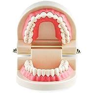 Estudio enseño Dental adulto estándar tipodonto demostración modelo dientes carne rosa