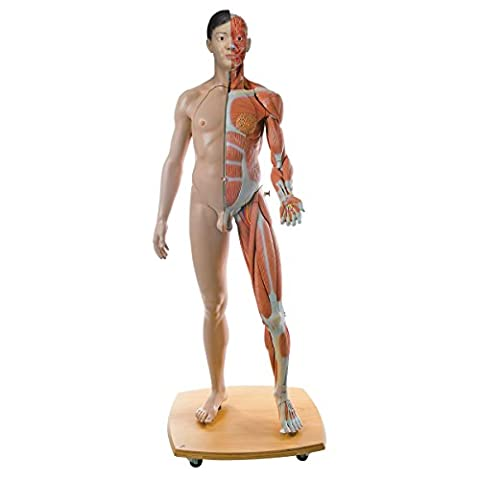 3B Scientific Human Anatomy - Life Size Dual Sex Asian Muscular Figure, 39 Part