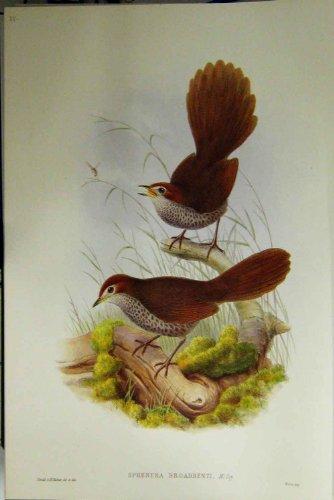 Gould Vogel-prints (Faksimile-Rufus Vorangegangener Borsten-Vogel Gould Australien)