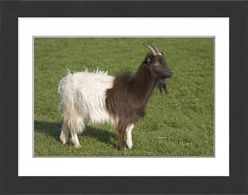 framed-print-of-bagot-goat-at-cotswold-farm-park