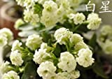 Kalanchoe potted plants saplings plena p...
