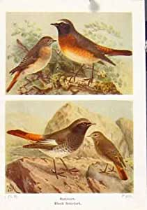 Redstart Black Color Antique Print Fine Art C1921 Birds