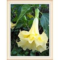 Trompeta de los ángeles - semillas de flor rosa 100pcs Semillas Bonsai de flores para jardín Planta blanca