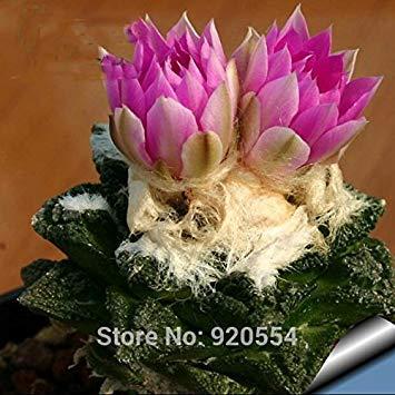Vista Echte Samen, Kaktus Samen 10pcs / lot, Ariocarpus fissuratus Sukkulente Pflanze Bonsai Pflanze DIY Hausgarten versandkostenfrei