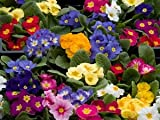 Premier Seeds Direct PRM01 Primrose Crown Mixed Flower Seeds (Pack of 75)