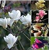 10seeds / pack Huang Yulan Magnolia seme Magnolia Fiori / Frutta / semi di erba