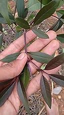 BLACK NIRGUNDI/BLACK VITEX/KARUNOCHI LIVE PLANT FOR FOLK MEDICINE - 1 HEALTHY LIVE PLANT