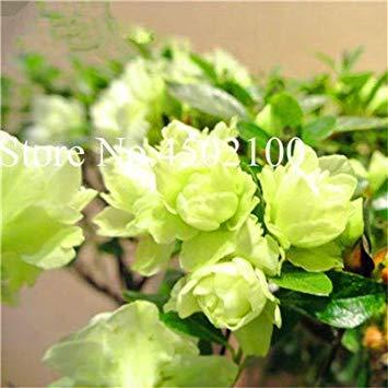 CUSHY 100 Stück exotischen japanischen AZEA Bonsai, Misch Rhododendron AZEA, AZEA Bonsai Samen DIY Seedssseed für Hausgarten: 6