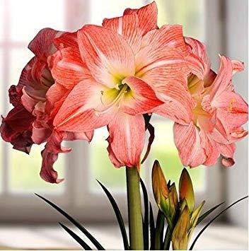 1 pièce / sac Hippeastrum ampoule Bonsai Amaryllis jardin Lily Bonsai Vivaces Ampoule Fleur Non Graine Haute Germination Taux 10