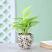 Ferns N Petals Golden Money Plant in Brown Ceramic Pot Birthday | Anniversay | House Warming Gift