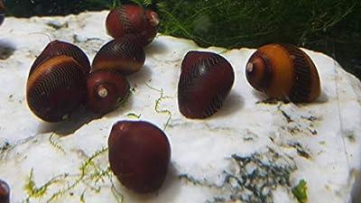 Neritina Waigiensis/Rote Rennschnecke - 5 Tiere