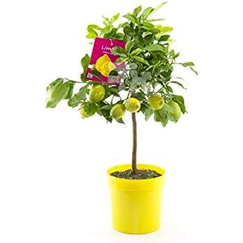 Xianjia Garten 5 Garten Mini Zitronenbaum Samen Bio-Zitronen winterhart mehrj/ährig Bonsai Zitrone Essbar Obst Saatgut Zimmerpflanzen Obst Zitrone f/ür Balkon