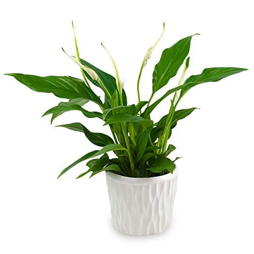 spatifillo con vaso in ceramica, spathiphyllum, giglio della pace, pianta vera