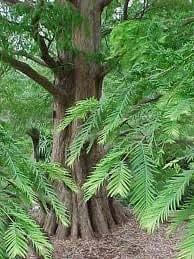 mammutbaum set 3 arten urweltmammut k stenmammut und bergmammutbaum garten. Black Bedroom Furniture Sets. Home Design Ideas