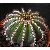 Uebelmannia pectinifera HU106 seeds