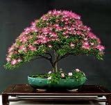 #2: Imported Albizia Julibrissin -Silk Plant Bonsai Tree Seeds