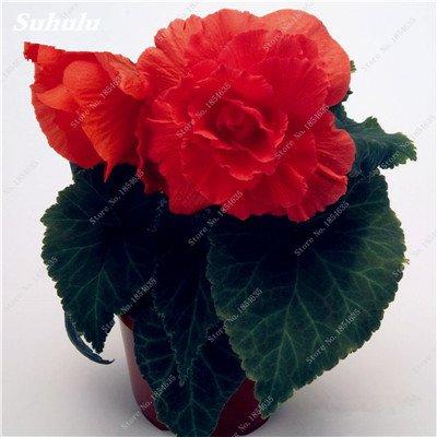 Nouveau! 150 Pcs Begonia Graines Bonsai Graines de fleurs Bonsai Maison & Jardin Flor Plantes en pot Purifier l'Office Air Bureau Fleurs 16