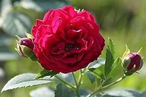 Ramblerrose Chevy Chase - Set aus 8 Rosen (6lt.)