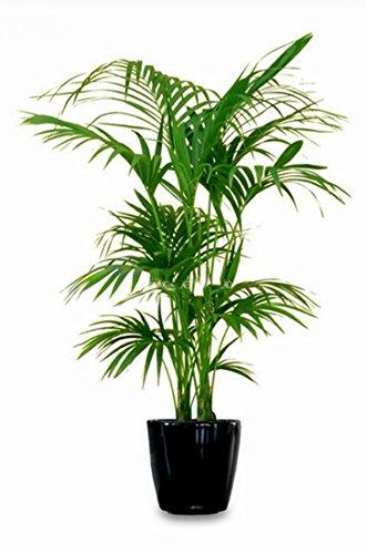 Kentia Palme Howea Forsteriana wunderschöne Zimmerpflanze sehr pflegeleicht 110-130cm Pot Ø 22 cm