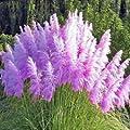 Yukio Samenhaus - 500/1000Stück Amerikanisches Pampasgras Samen Ziergras für Staudenbeet, Gehölzrand winterhart Blumenmeer von Yukio auf Du und dein Garten