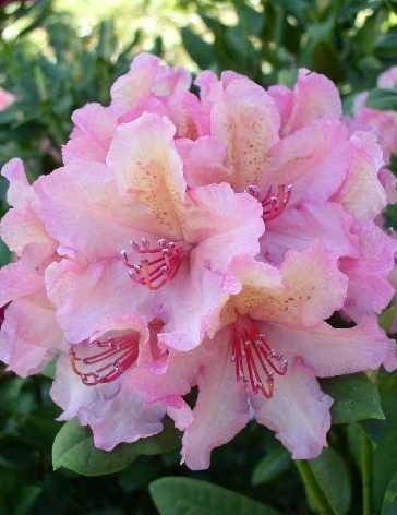Rhododendron Brasilia 30-40 cm hoch im 5 Liter Pflanzcontainer