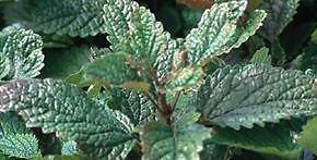 Bio-Melisse Seeds - Beruhigungsmittel, Sooth Stress, Leichtigkeit Fieberbläschen.
