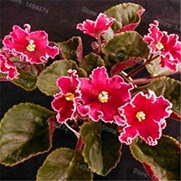 Fash Lady 50 samen African veilchen samen mischfarben Blumensamen Saintpaulia Ionantha Garten Bonsai Blumentopf Mehrjährige kräutersamen 5