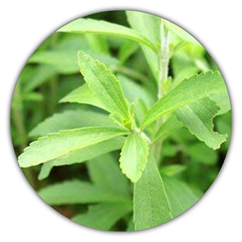Stevia - ca. 100 Samen zum selber Pflanzen - natürlicher Zuckerersatz - für den Garten oder den Kräutertopf
