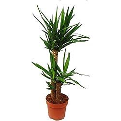 Yucca Palme - Palmlilie - 2 runde Stämme - ca. 80-100cm hoch