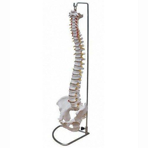Wirbelsäule Modell mit Becken inkl. Ständer - Anatomie Modell - Skelett Modell -