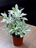 vegherb Chinamarket 100 PCS Bianco Salvia Semi perenni Erbe Facile da Coltivare Heirloom Giardino delle Piante