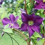 Clematis viticella 'Viola' - Schöne Kletterpflanze von Native Plants