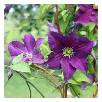 Schöne Kletterpflanzen clematis viticella viola schöne kletterpflanze plants