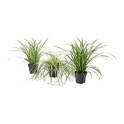 Drei wunderschöne winterharte Carex Gräser Segge im Topf von Lifestyle-Hamburg Pflanzenraritäten auf Du und dein Garten
