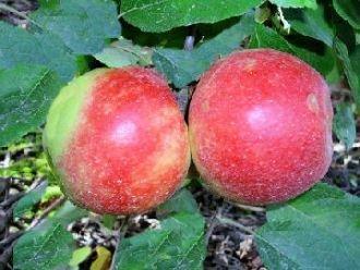 Apfelbaum Elstar Apfel Elstar – Malus Elstar Containerware 120-160 cm hoch Gartenbaum