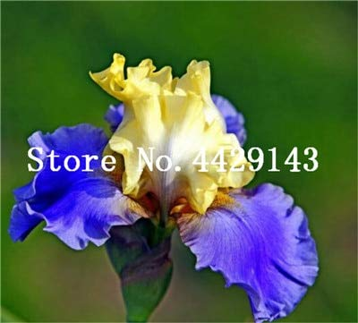 Galleria fotografica prime vista 100 pezzi Bonsai Iris Flower Perennia Flower Rare Flower iris barbuto, piante della natura Orchidea fiore DIY per giardino Facile da coltivare: 19