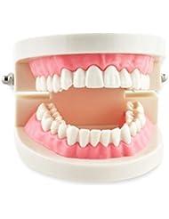 Levin dentaire Étude enseignement Modèle standard dents de démonstration