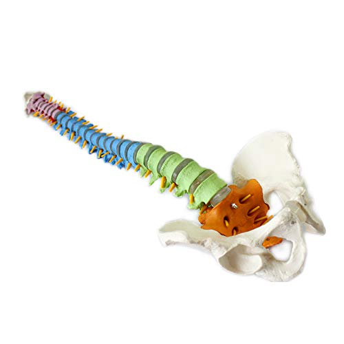 Anatomisches Modell, medizinisches Modell der menschlichen Wirbelsäule, Halswirbel, orthopädisches Skelettmodell, dreifarbige Wirbelsäule, umweltfreundliches PVC-Material,White - Wirbelkörper Der Wirbelsäule