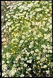 Suffolk Herbs Bildhaftes Paket Wild Kamille Matricaria recutita