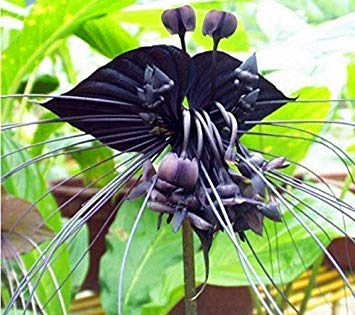 Black Cat Orchid 10Pcs Seedsflowers Garten Blüte Pflanze USA