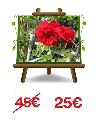 Rose d'escalade couleur rouge cerise - Petite fleur sur pot de 30 - max 100 cm - 5 ans