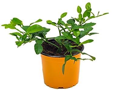 Kaffir-Limette, frische Kaffir Limetten Pflanze, Citrus hystrix, im 12 cm Topf von Weselerkräuterparadies auf Du und dein Garten