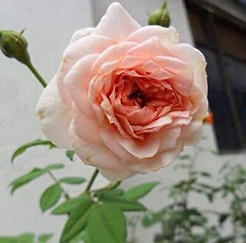 100 pcs / lot en rotin rose, rose grimper rotin, Hardy Arbuste graines bonsaï plante jardin Livraison gratuite 12