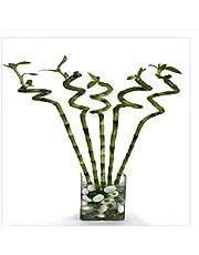 CAPPL Lucky Bamboo Spiral Sticks 90 cm (6 Sticks)
