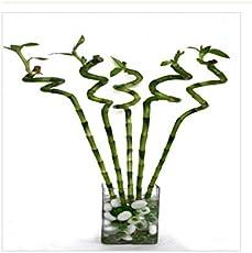CAPPL Lucky BambooSpiral Sticks 60 cm
