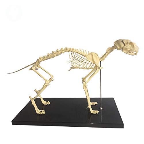 Katzen-Skelett Anatomisches Modell Haustier-Katzen-Knochen Tierisches Skelett Specimen Anatomie Modell Veterinary Teaching Demonstration Werkzeug
